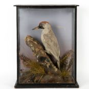 A mid 20th century taxidermy preserved woodpecker, mounted in a three glass case and perched on a