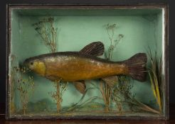 An old preserved tench in a glazed case with naturalistic interior, 58cm wide x 42cm highCondition