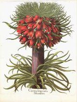 A pair of decorative botanical prints after the originals for Basilius Besler's 'Hortus
