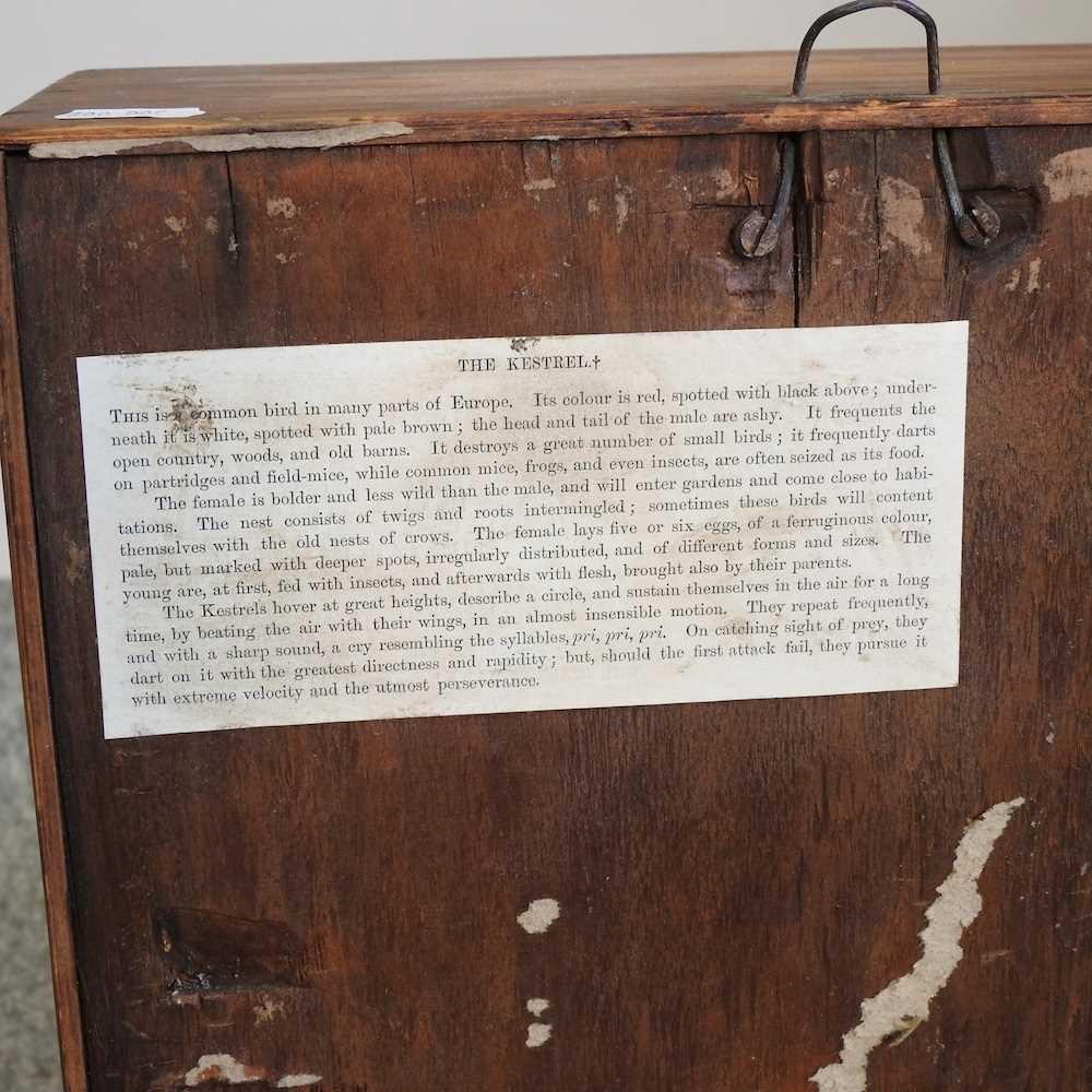 A Victorian taxidermy kestrel - Image 2 of 7