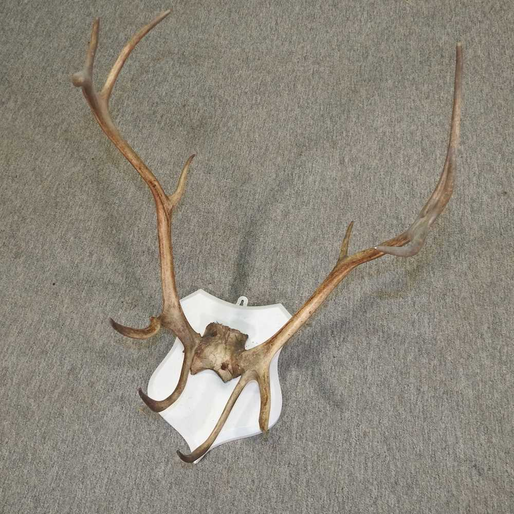 A pair of stag antlers - Image 5 of 7