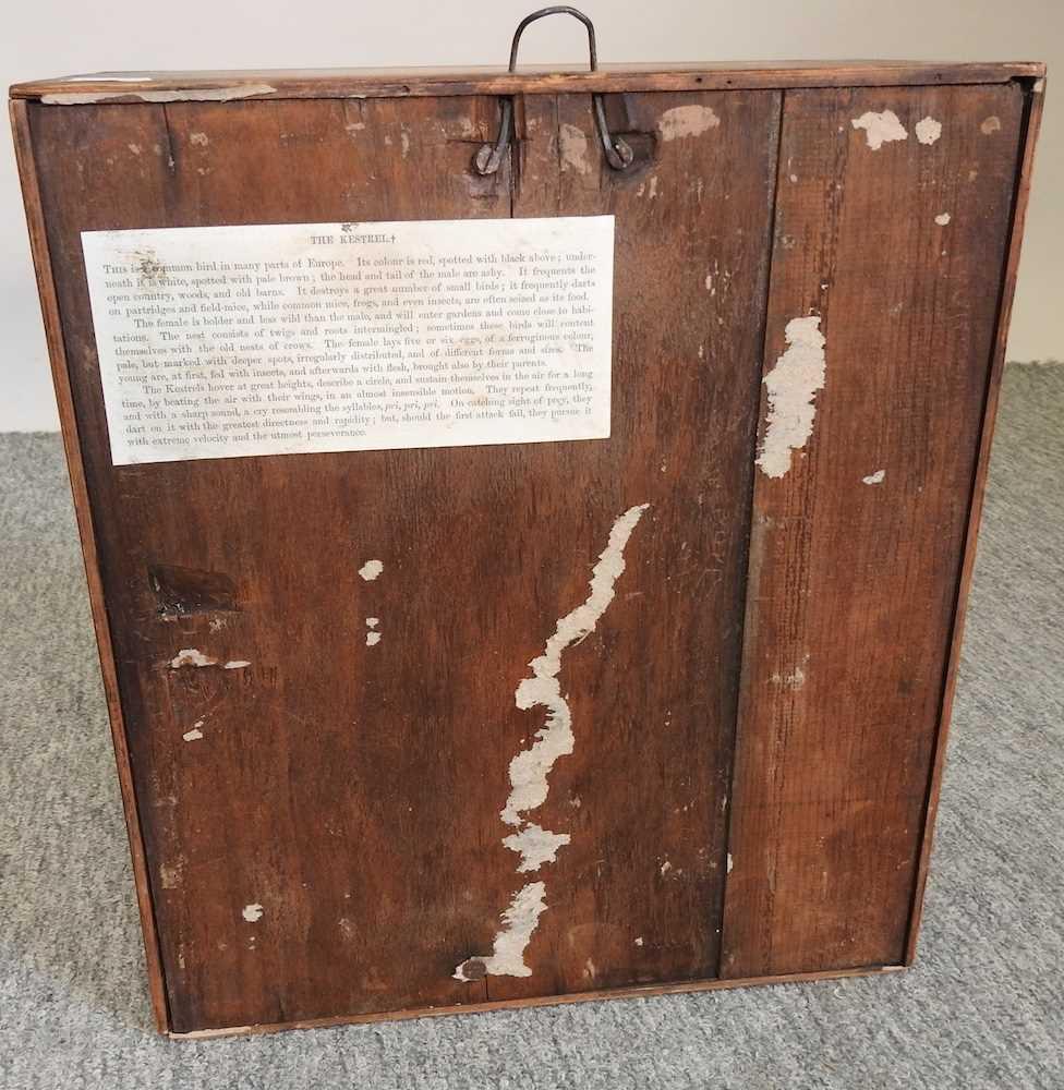A Victorian taxidermy kestrel - Image 7 of 7