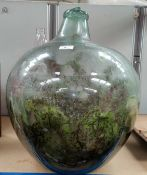A glass carboy, planted