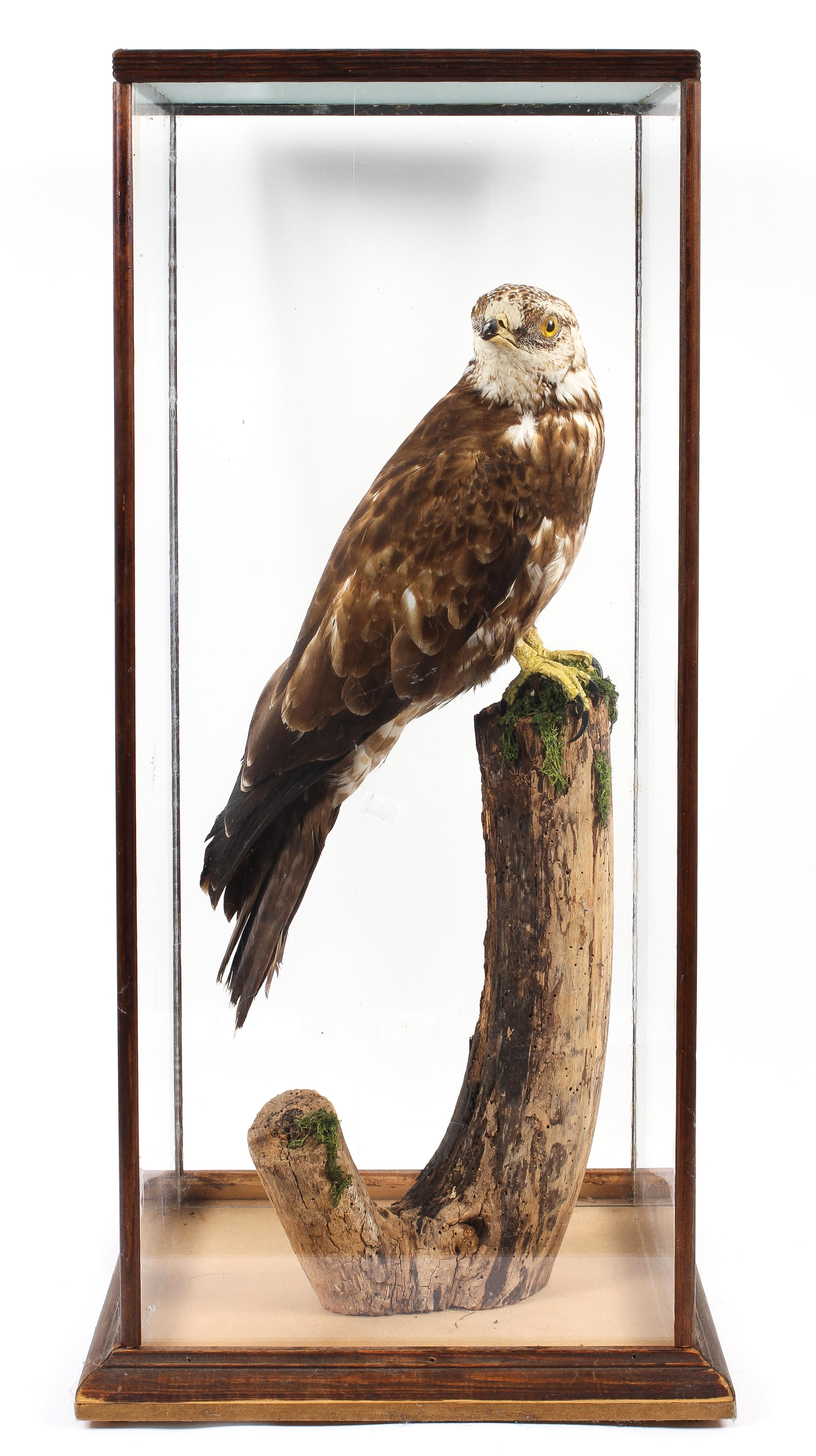 A taxidermy honey buzzard, late 19th century, modelled perched on a tree stump base, by Thomas Hunt,