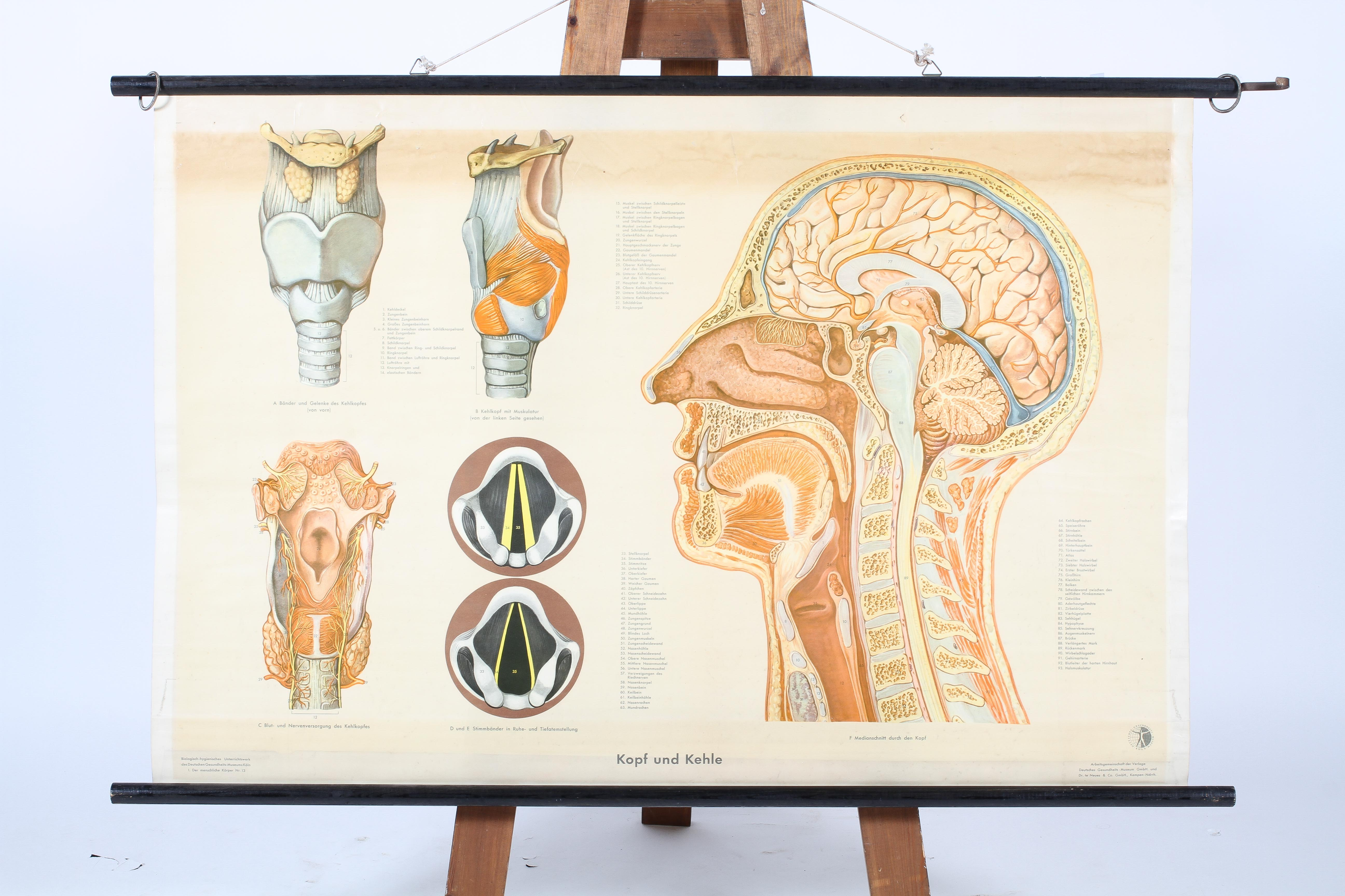 A German mid-20th century rolled anatomical chart, suspended from ebonised pole,