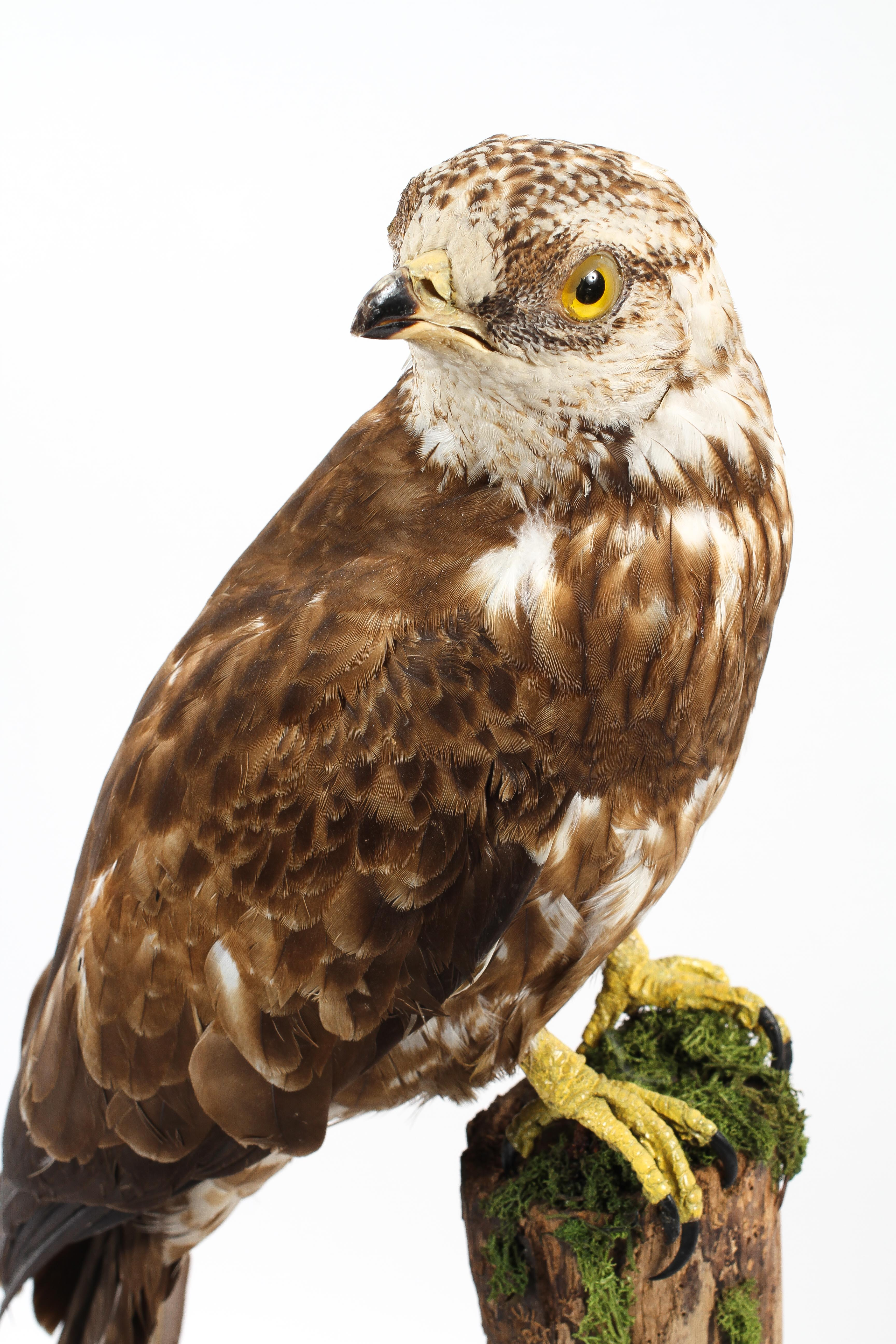 A taxidermy honey buzzard, late 19th century, modelled perched on a tree stump base, by Thomas Hunt, - Image 2 of 3