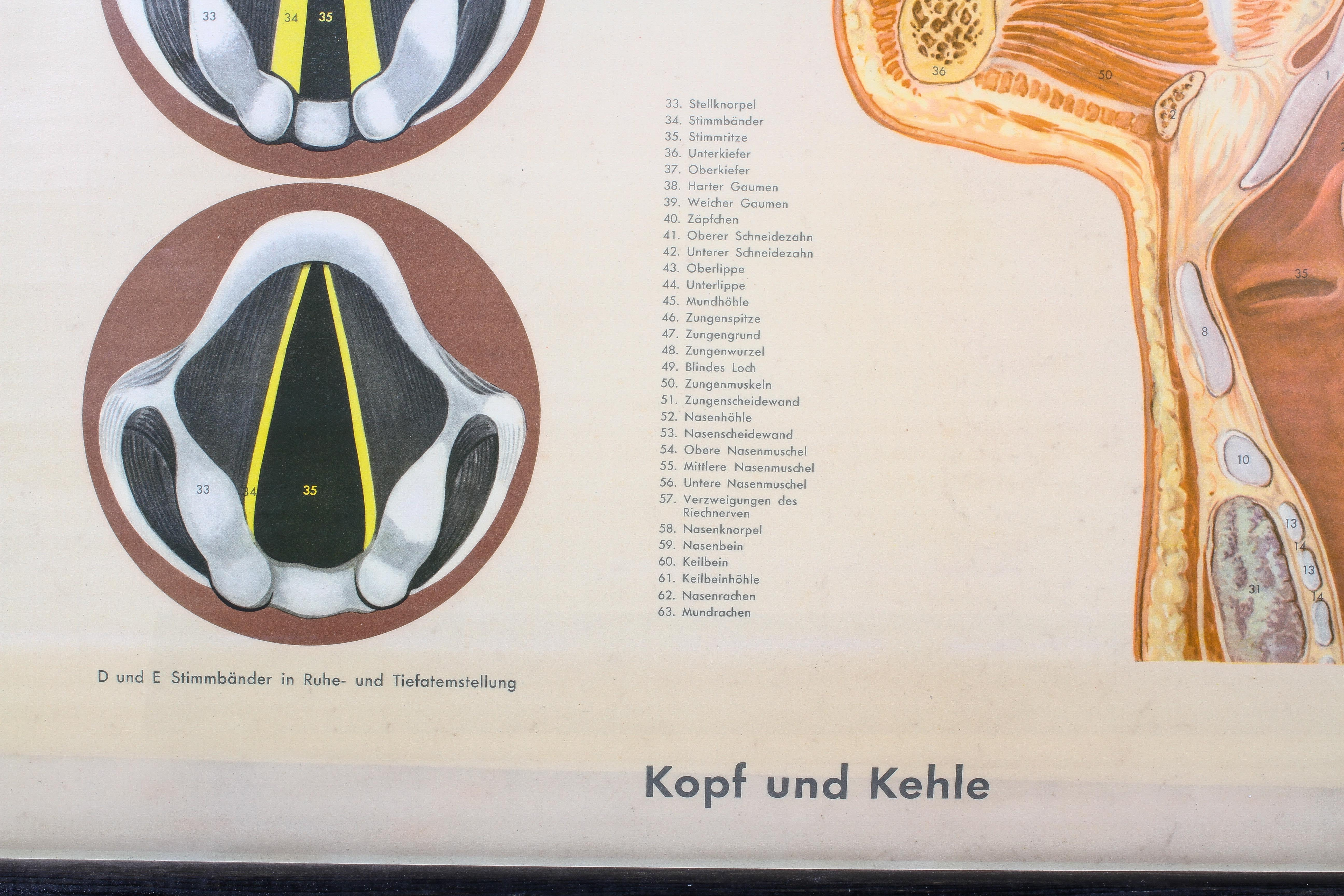 A German mid-20th century rolled anatomical chart, suspended from ebonised pole, - Image 3 of 3