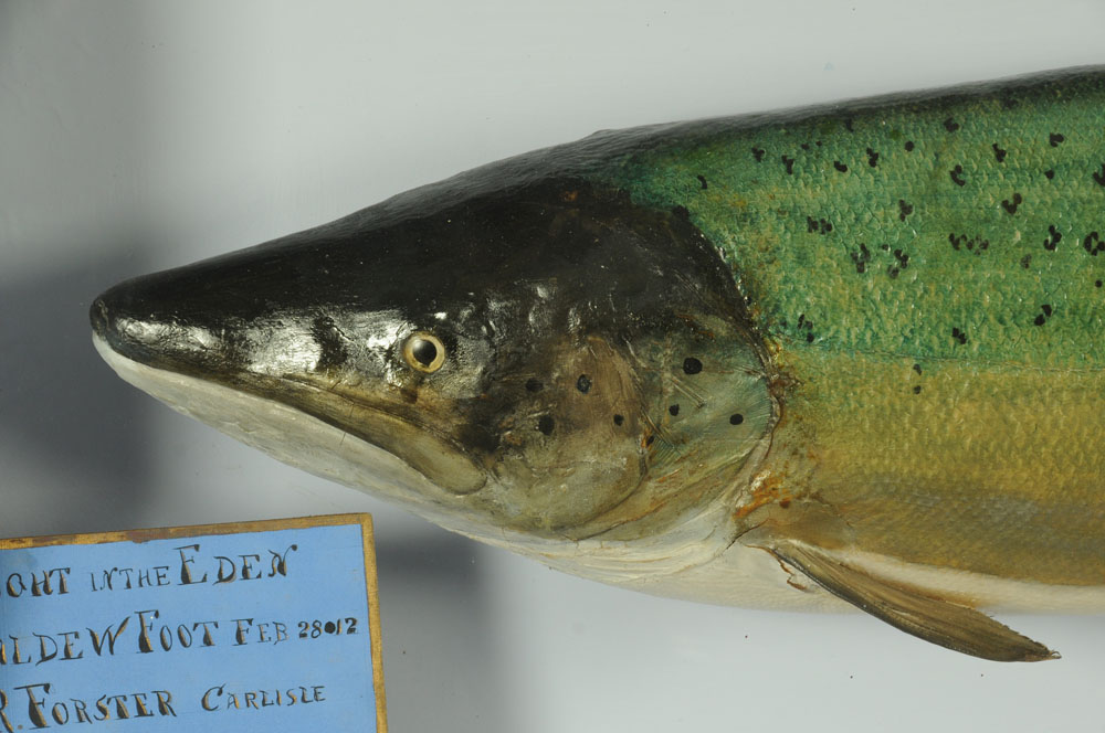 """An important taxidermy 39 lb 8 oz hen salmon """"Fly Caught on the Eden at Caldew Foot. - Image 5 of 6"""