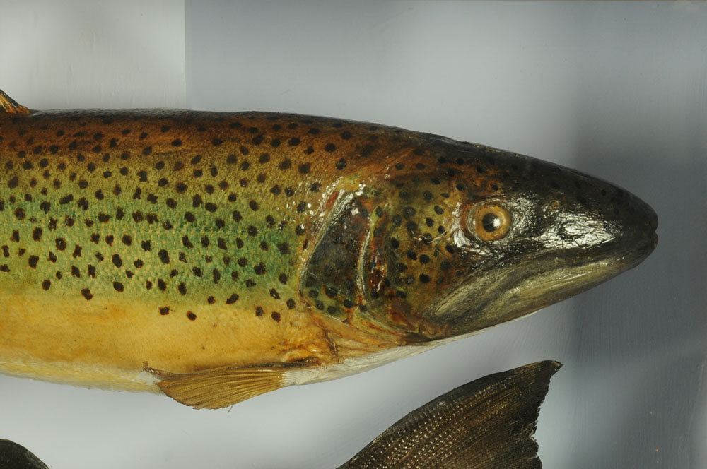 """An important taxidermy 39 lb 8 oz hen salmon """"Fly Caught on the Eden at Caldew Foot. - Image 6 of 6"""