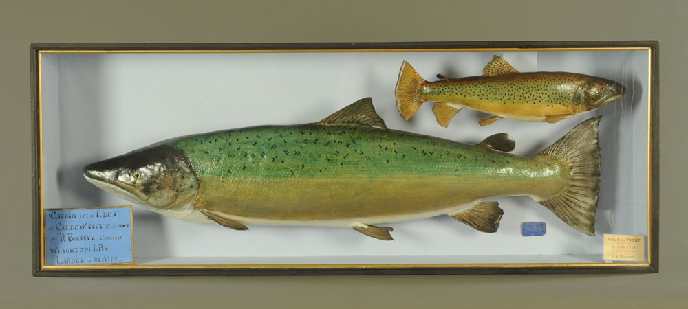 """An important taxidermy 39 lb 8 oz hen salmon """"Fly Caught on the Eden at Caldew Foot."""