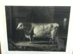 """AFTER PERCY FORSTER """"Portrait of the Celebrated Short Horned Cow Bracelet…"""", coloured engraving by"""