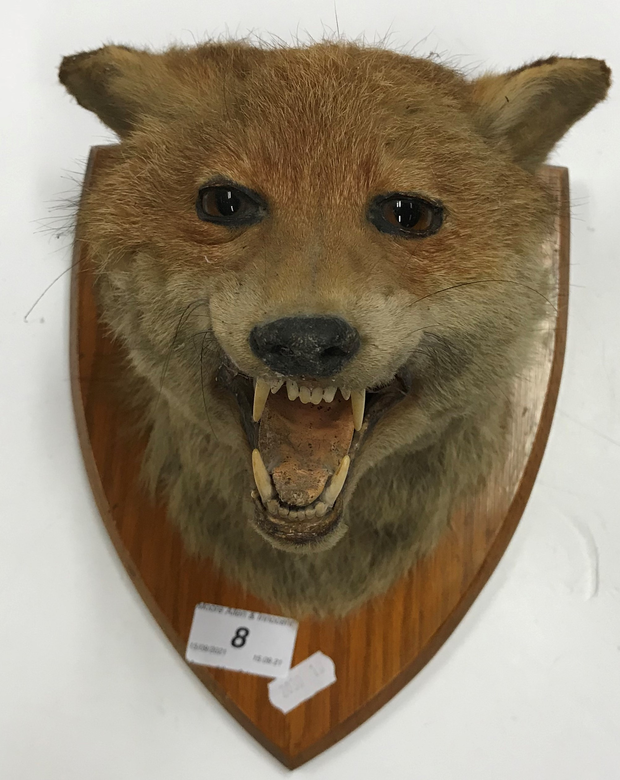 A taxidermy stuffed and mounted Fox mask on oak shield shaped mount formerly with large paper