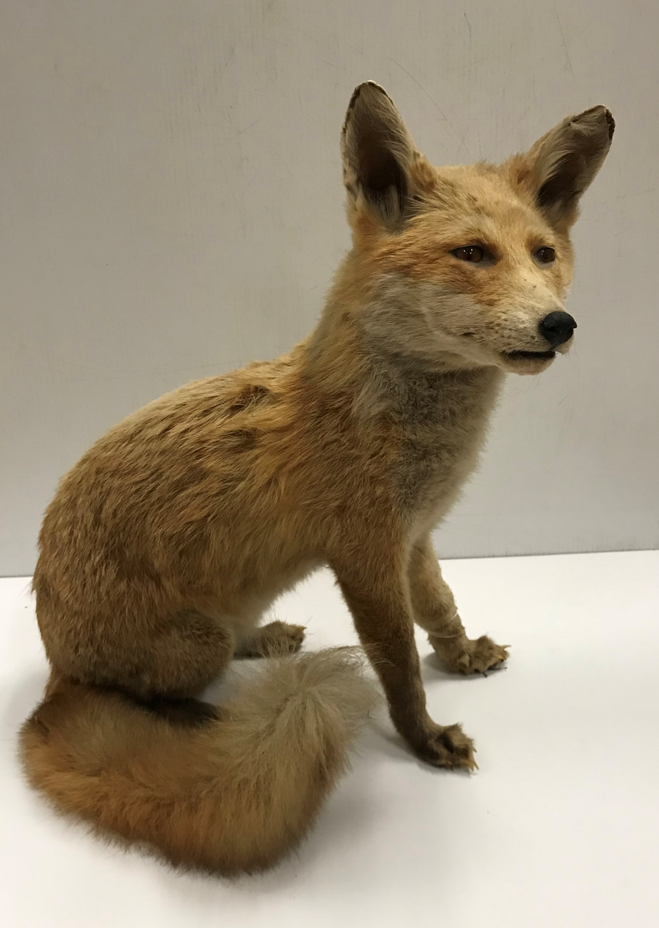 A taxidermy stuffed and mounted Juvenile Fox in seated position 36 cm long x 48.5 cm high