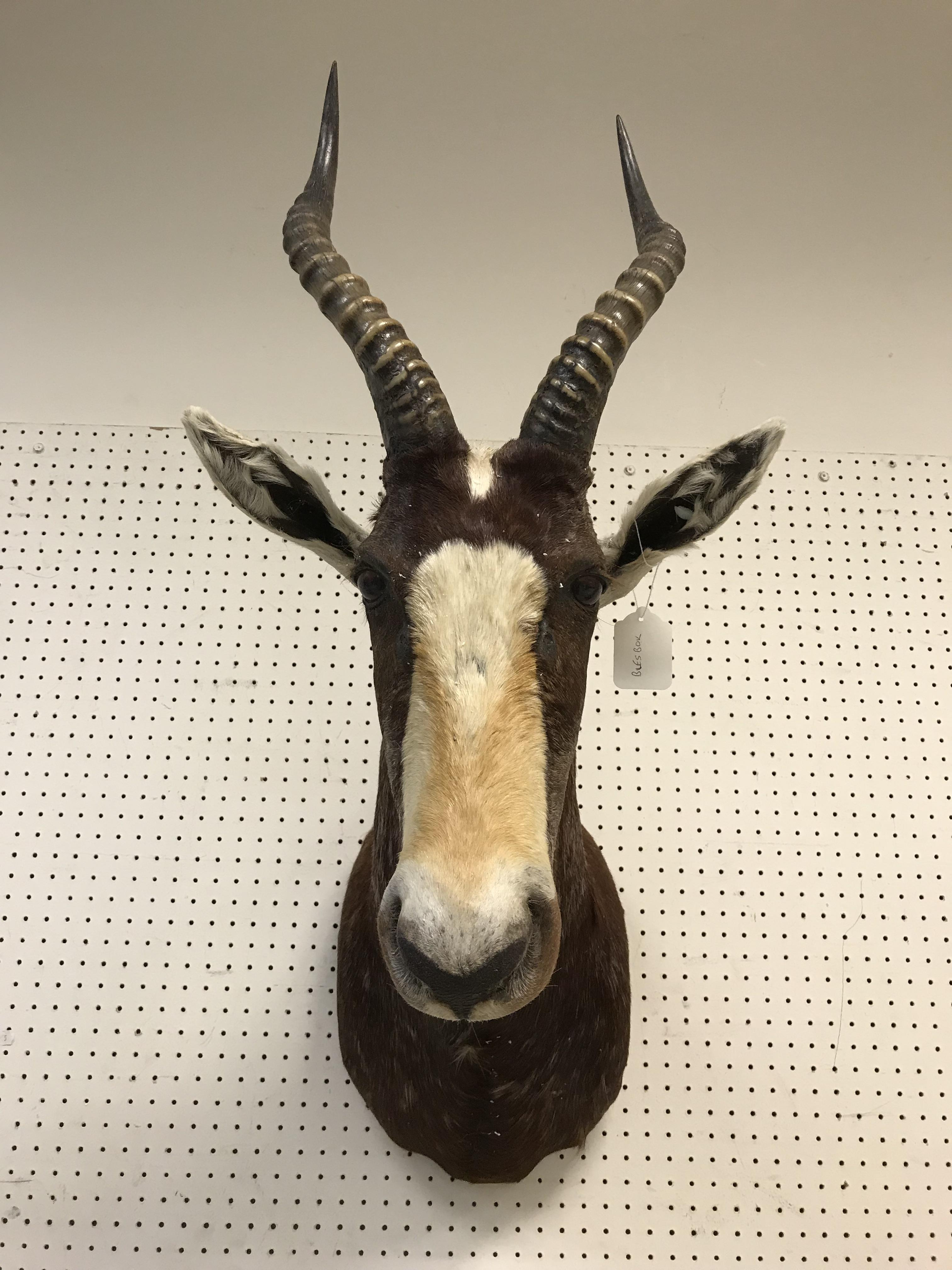 """A taxidermy stuffed and mounted Blesbok head and shoulders mount, with horns, inscribed verso """"267- - Image 3 of 4"""