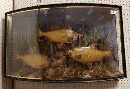 A rare Victorian taxidermy stuffed and mounted pair of Roach and single Rudd by J Cooper & Sons,