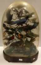 A Victorian taxidermy stuffed and mounted collection of thirty-three various exotic birds