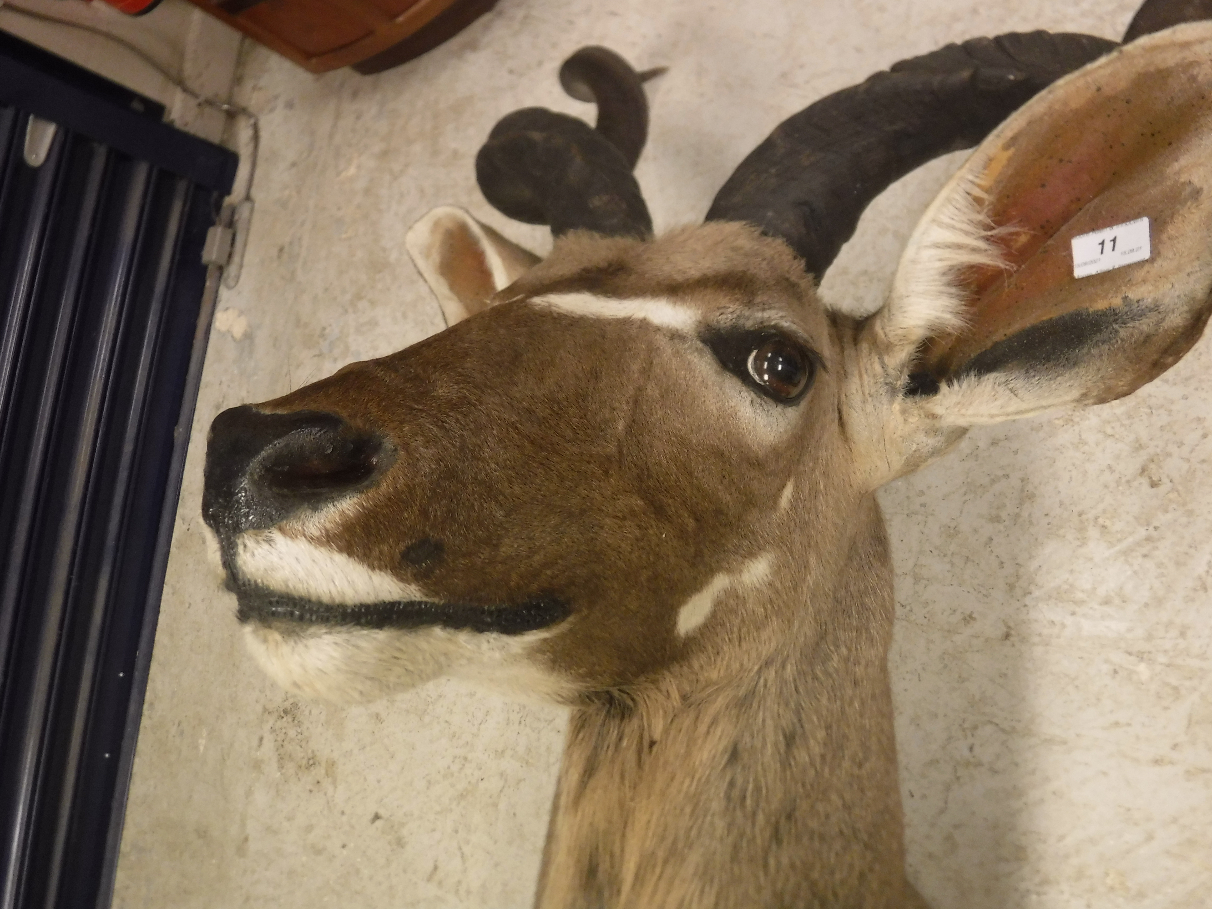 A modern taxidermy stuffed and mounted Greater Kudu head and shoulder mount approx. 74 cm wide x 135 - Image 3 of 17