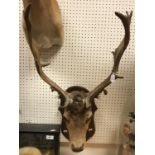 A taxidermy stuffed and mounted Fallow Deer Stag's head with antlers on an oak mount, 46 cm wide