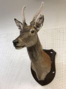 A taxidermy stuffed and mounted Juvenile Red Deer Stag with antlers in fur, on an oak shield
