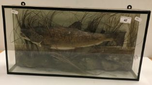 An early 20th Century taxidermy stuffed and mounted Trout in naturalistic setting and five-sided
