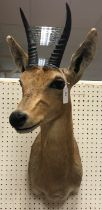 A modern taxidermy stuffed and mounted Mountain Reedbuck head and shoulder mount bearing label verso