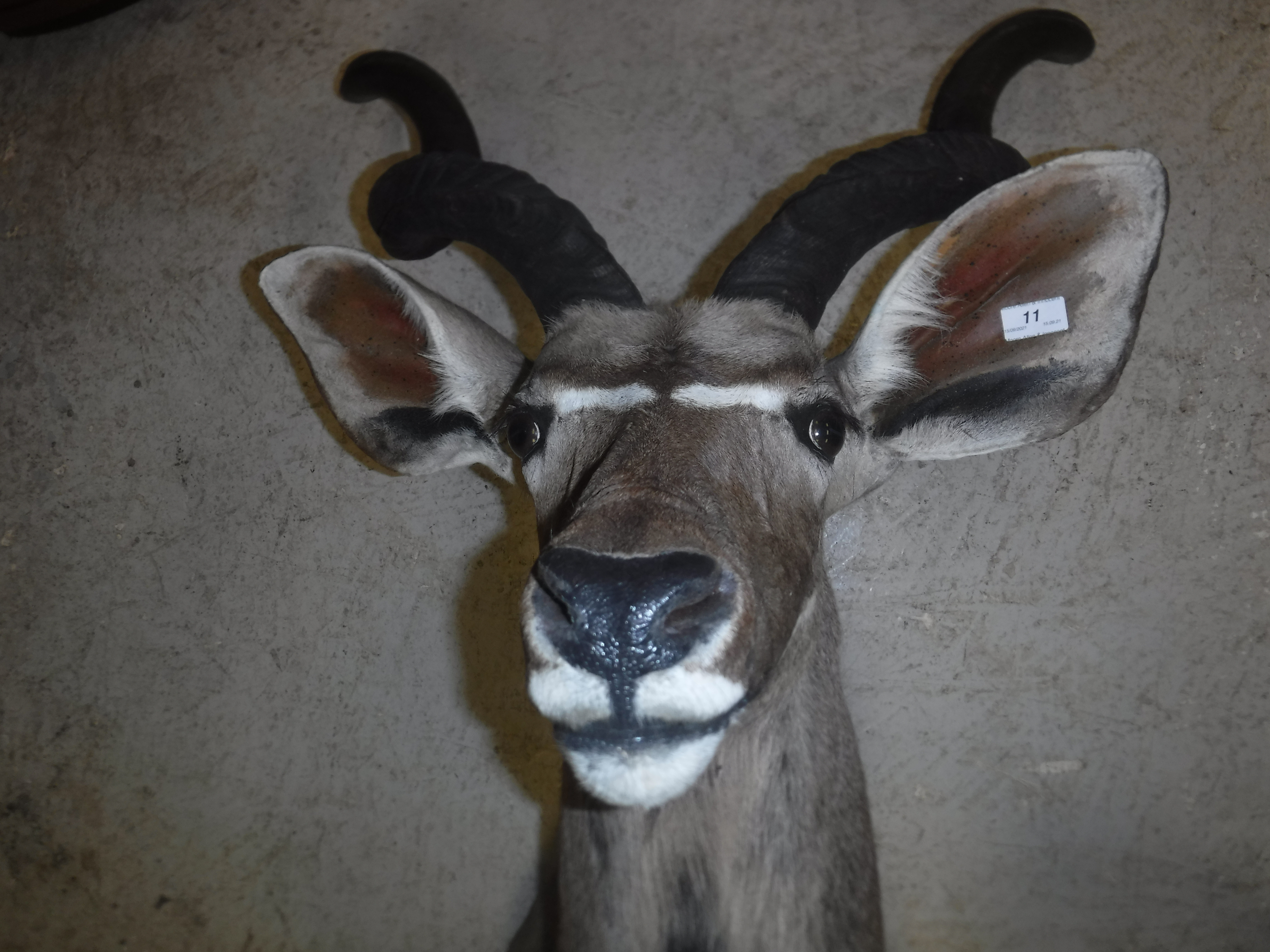 A modern taxidermy stuffed and mounted Greater Kudu head and shoulder mount approx. 74 cm wide x 135 - Image 15 of 17