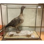 A taxidermy stuffed and mounted Pink Foot Goose under a five-sided glass case oak framed on