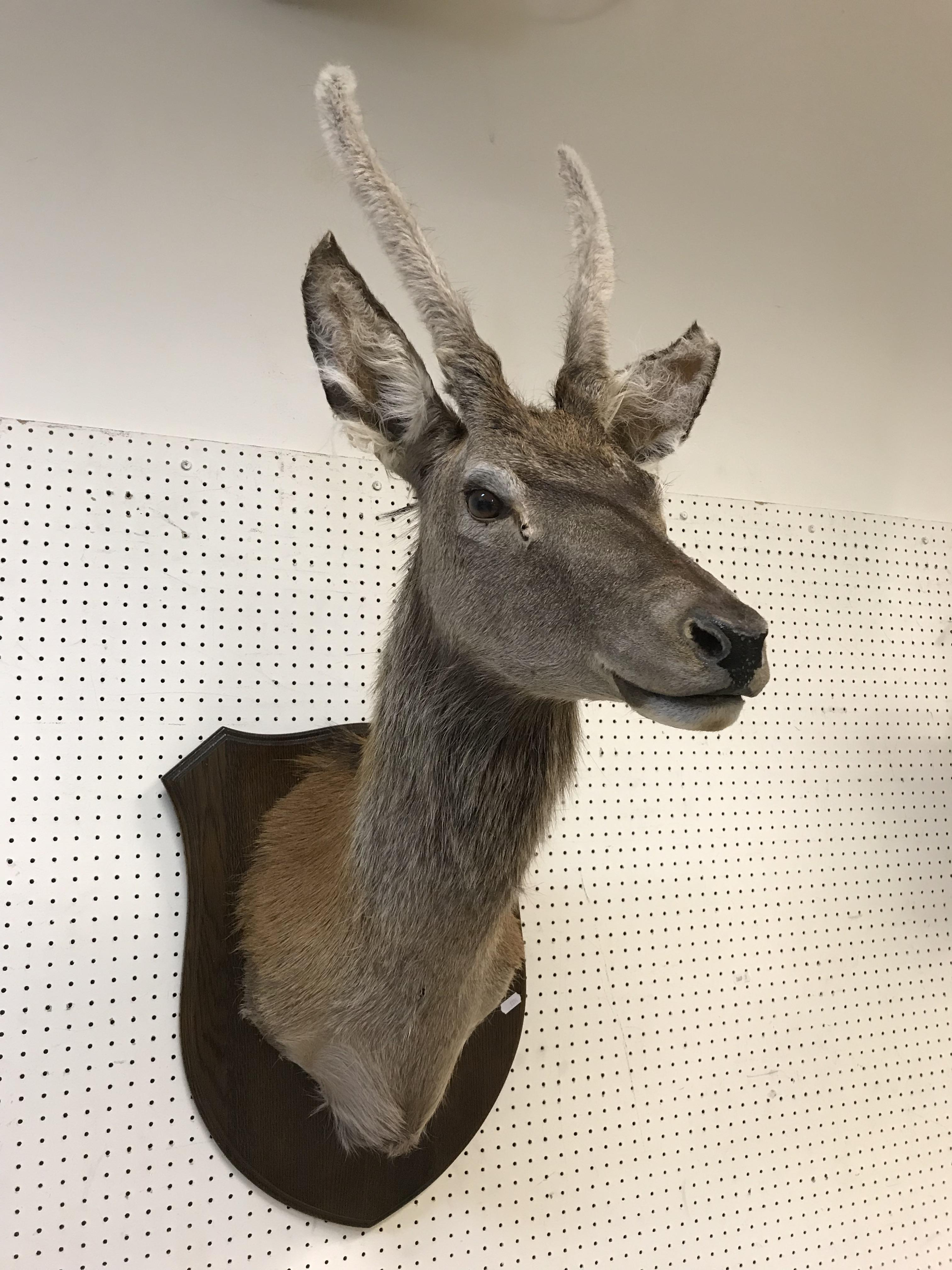 A taxidermy stuffed and mounted Juvenile Red Deer Stag with antlers in fur, on an oak shield - Image 2 of 4
