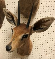 A modern taxidermy stuffed and mounted Steenbok head and shoulder mount bearing tie on label