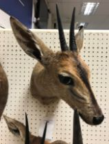 A modern taxidermy stuffed and mounted Common Duiker head and shoulder mount bearing tie on label