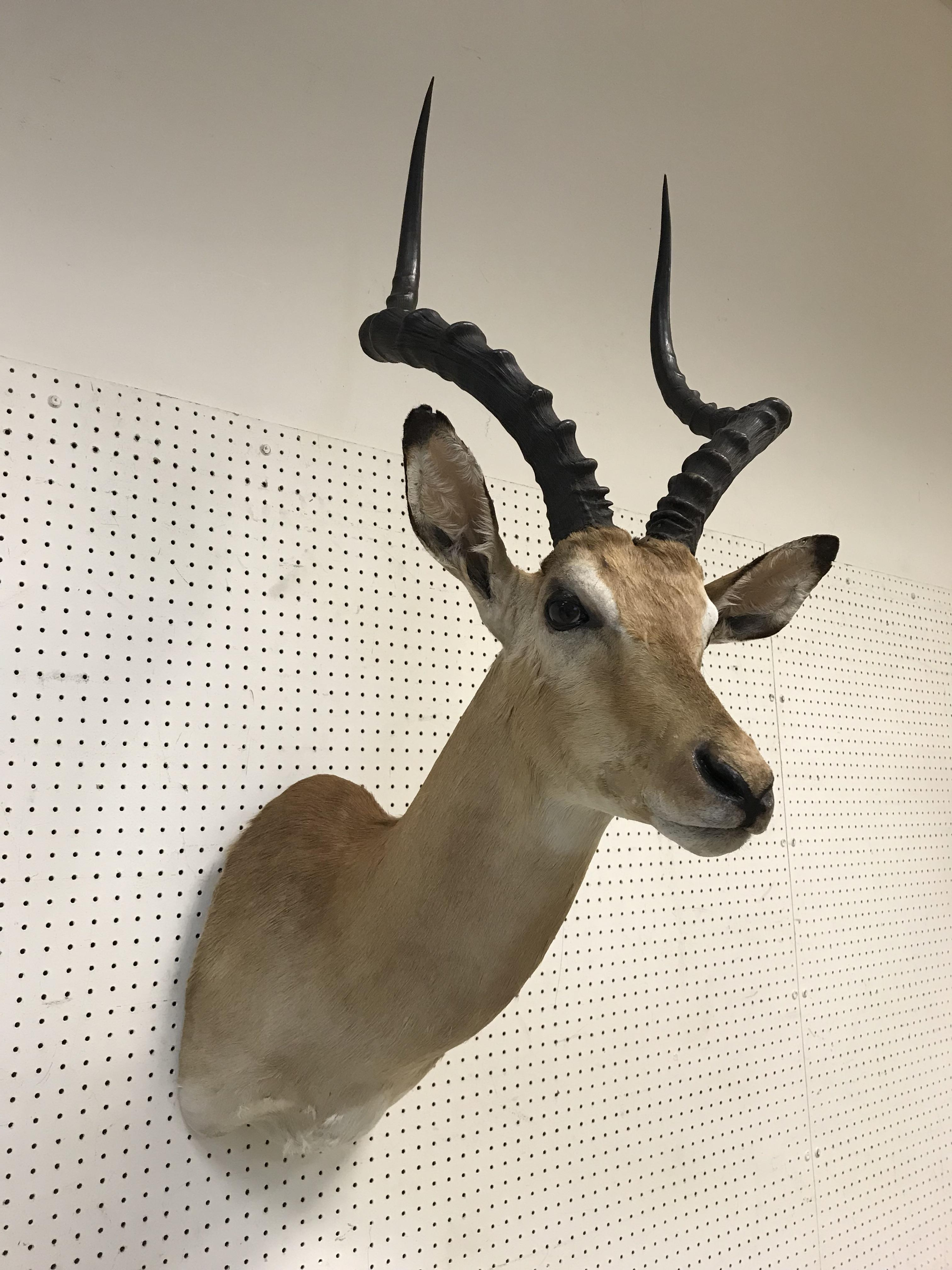 """A taxidermy stuffed and mounted Impala head and shoulders mount, with horns, bearing label """"Impala - Image 3 of 5"""