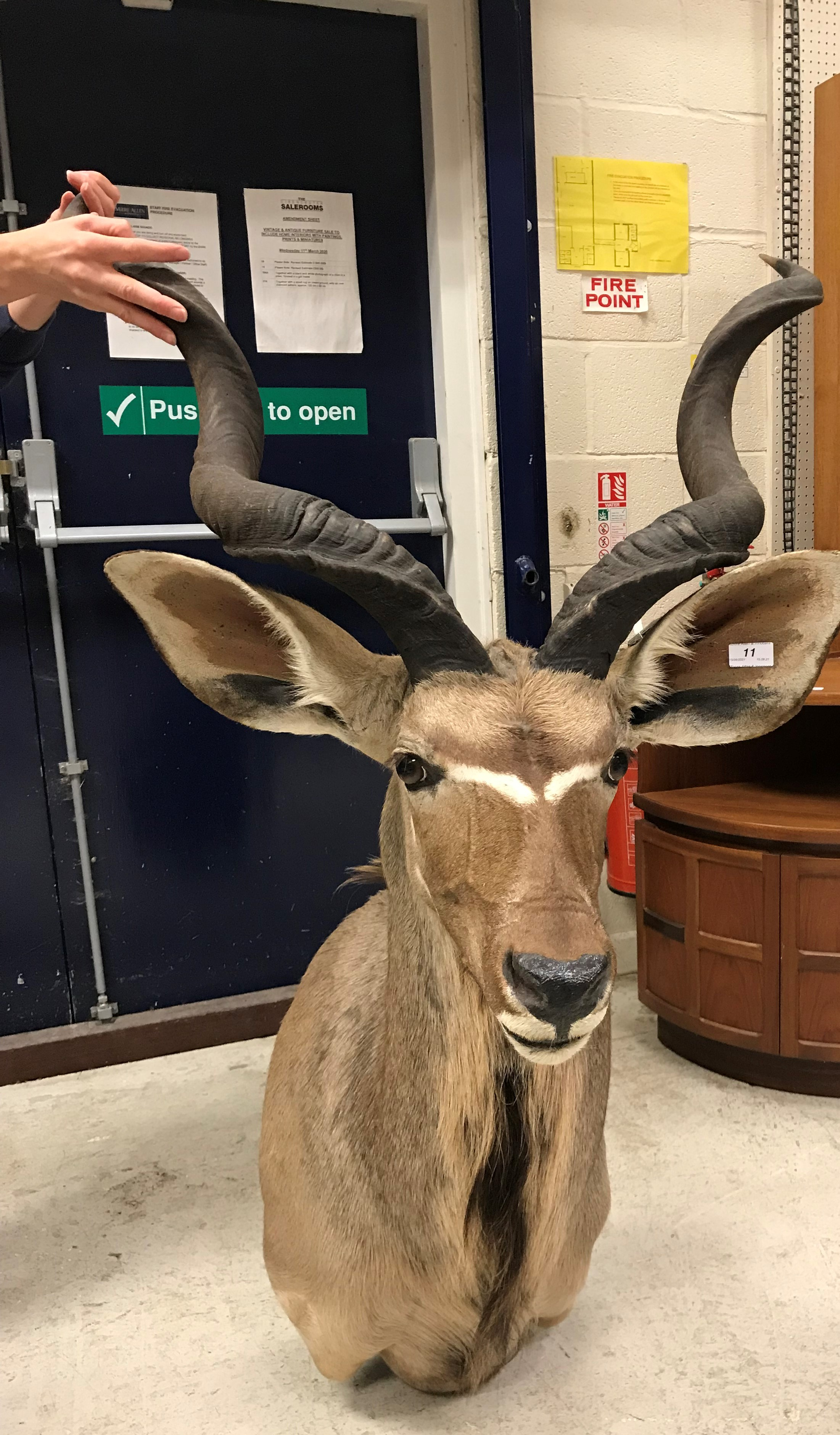 A modern taxidermy stuffed and mounted Greater Kudu head and shoulder mount approx. 74 cm wide x 135