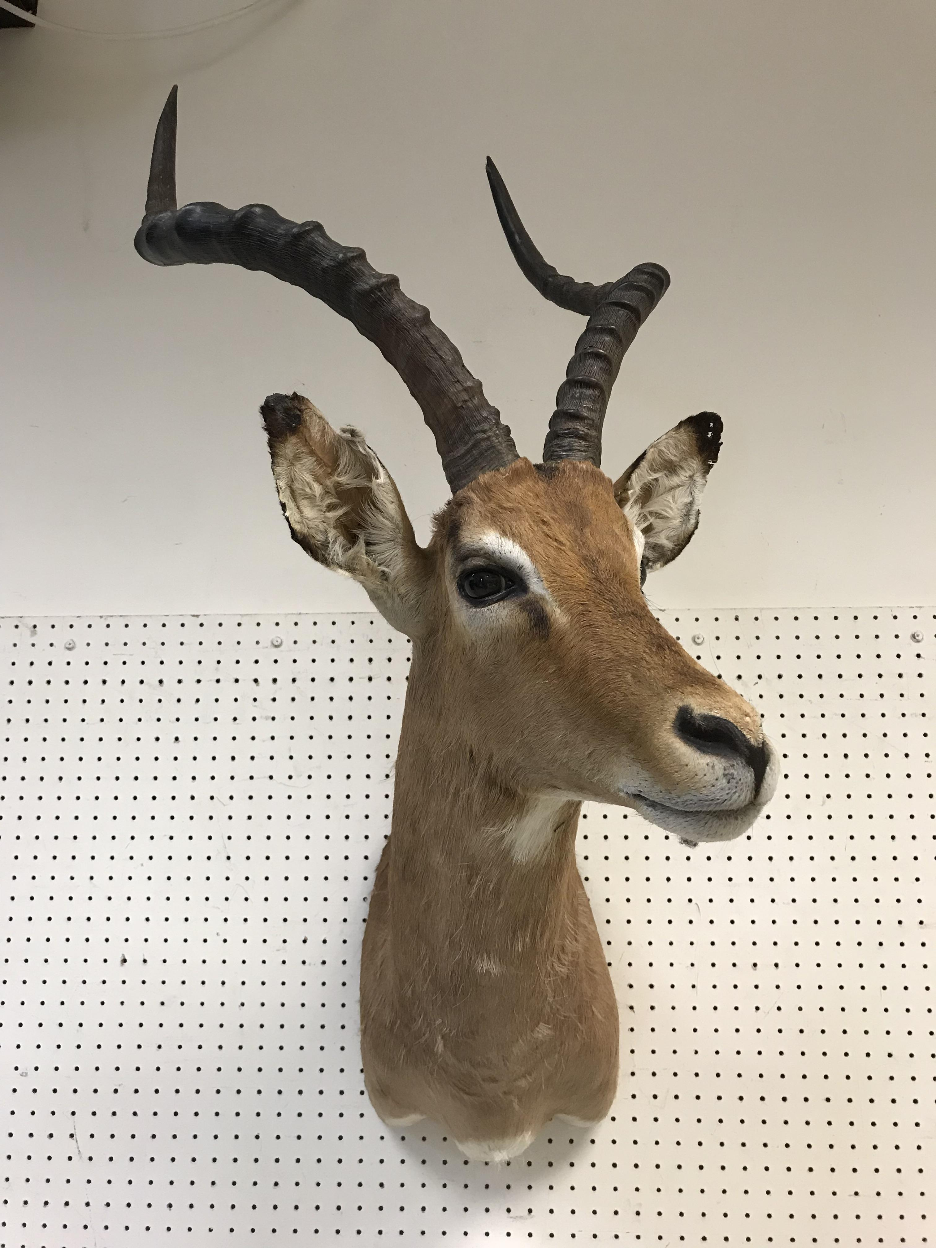"""A taxidermy stuffed and mounted Impala head and shoulder mount with horns inscribed verso""""Impala - Image 3 of 4"""