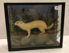 A taxidermy stuffed and mounted Stoat in naturalistic setting and three-sided glazed display case,
