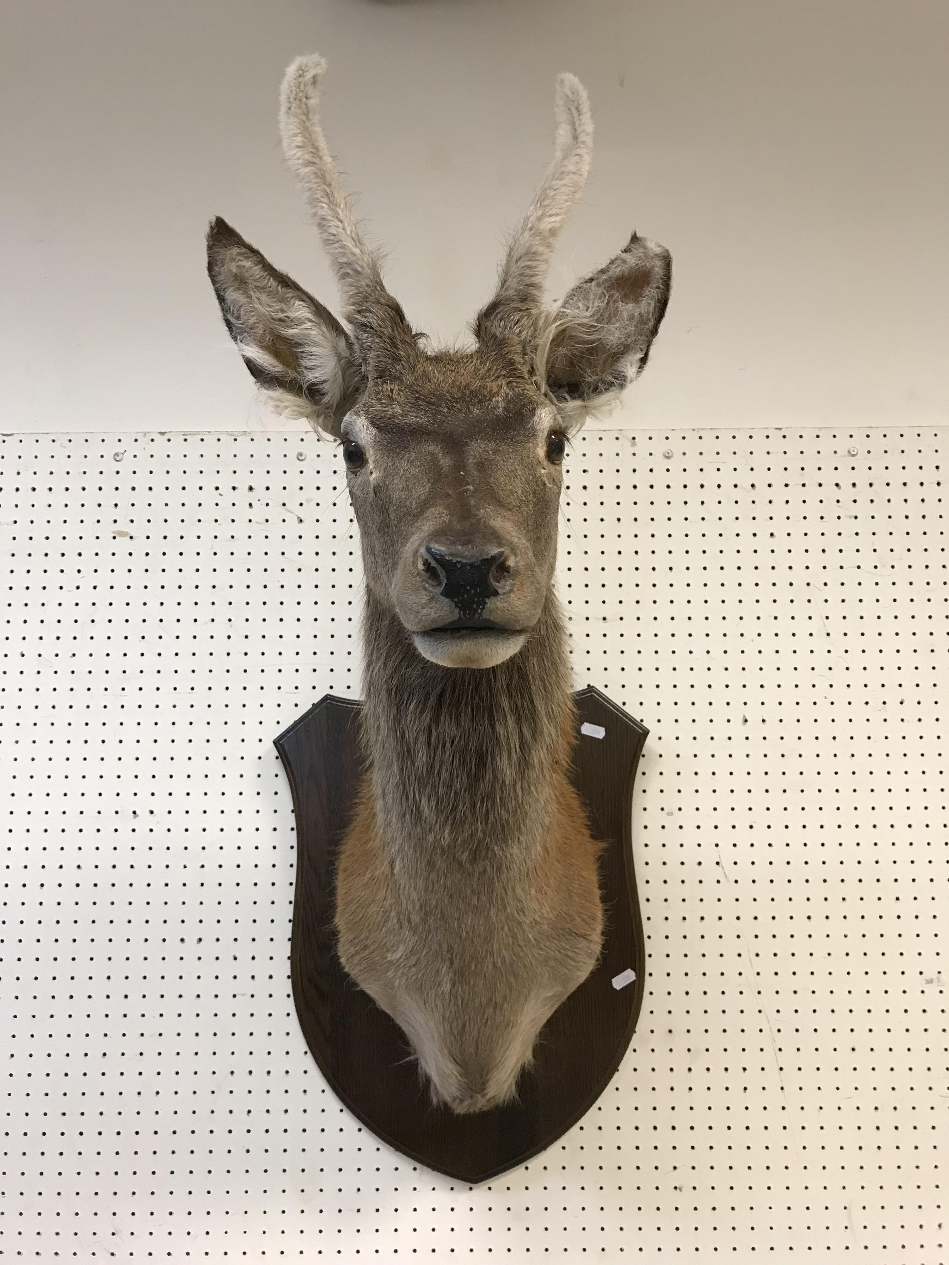 A taxidermy stuffed and mounted Juvenile Red Deer Stag with antlers in fur, on an oak shield - Image 3 of 4
