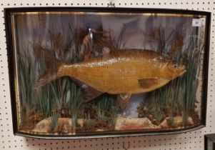 A rare Victorian taxidermy stuffed and mounted Bream by F Anstiss of London, in naturalistic setting