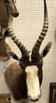 """A modern taxidermy stuffed and mounted Bontebok head and shoulder mount bearing label verso """""""