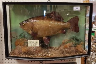 A taxidermy stuffed and mounted Crucian Carp in naturalistic setting and bow fronted three sided