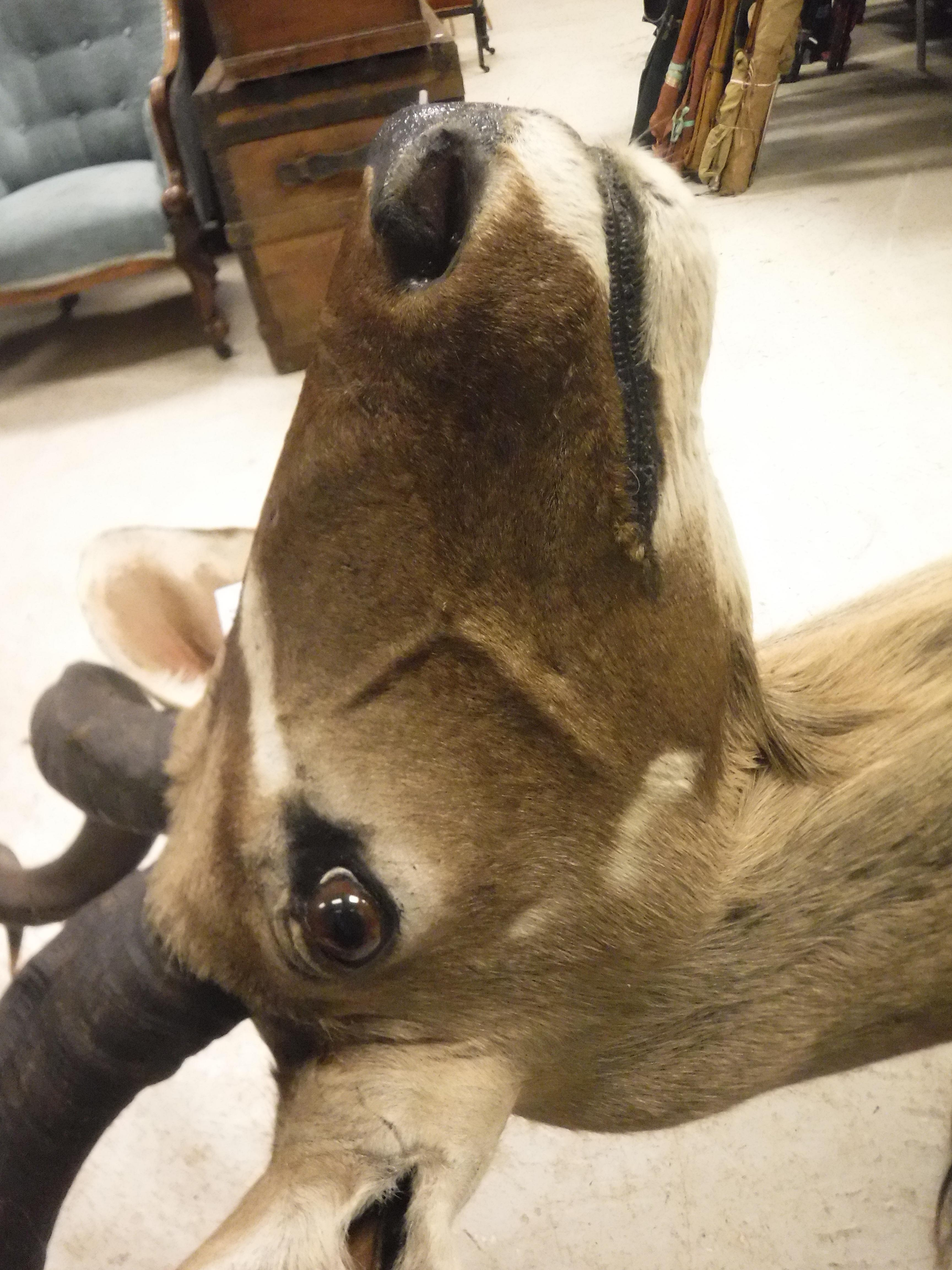 A modern taxidermy stuffed and mounted Greater Kudu head and shoulder mount approx. 74 cm wide x 135 - Image 9 of 17
