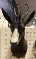 A modern taxidermy stuffed and mounted Black Springbok head and shoulder mount bearing tie on