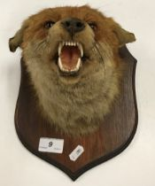 "A taxidermy stuffed and mounted Fox mask on mahogany shield shape mount bearing label ""Douglas K"