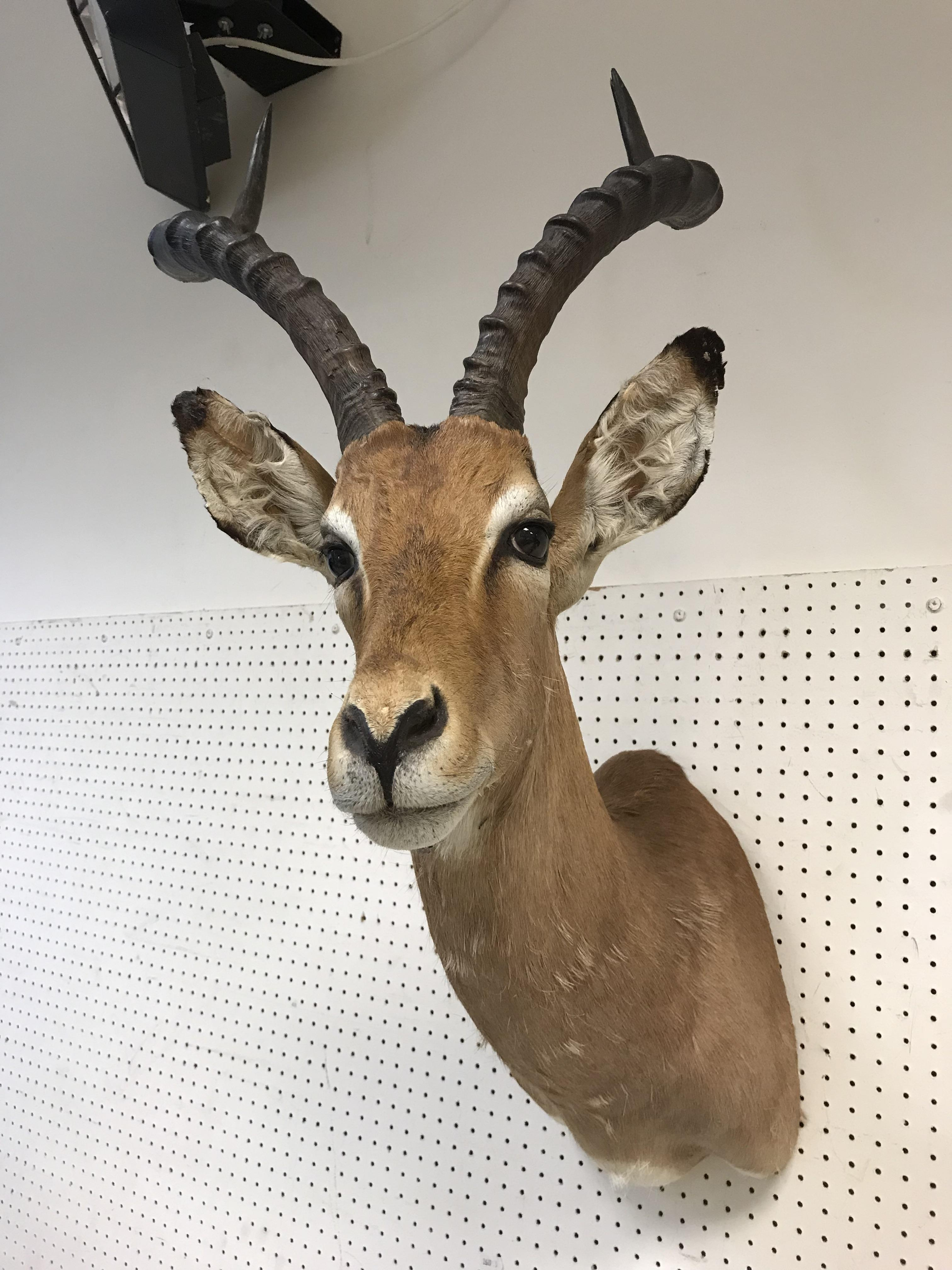 """A taxidermy stuffed and mounted Impala head and shoulder mount with horns inscribed verso""""Impala"""