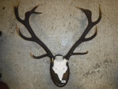 A pair of modern Red Deer twelve point Stag antlers with skull cap, mounted on a stained beech
