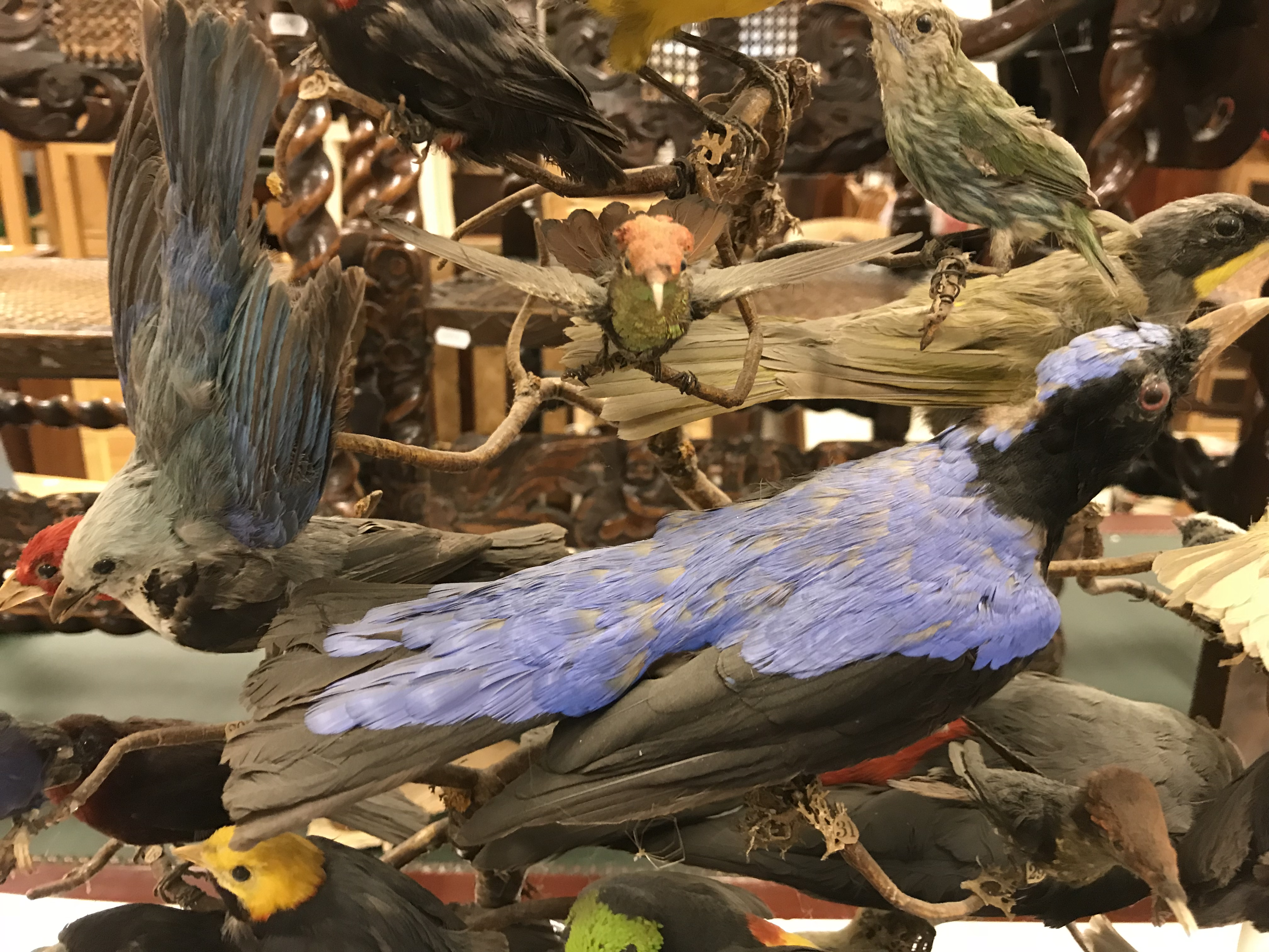 A Victorian taxidermy stuffed and mounted collection of thirty-three various exotic birds - Image 7 of 10