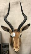 A modern taxidermy stuffed and mounted Impala head and shoulder mount approx. 86 cm high