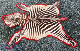 Vintage Taxidermy African Burchell Zebra Skin Rug laid on felt