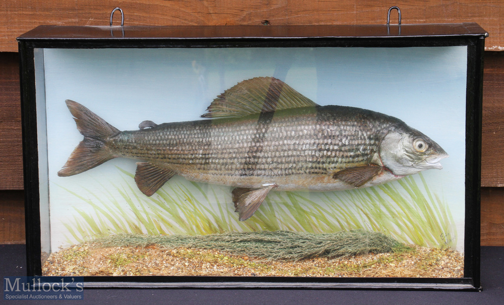 Modern Preserved Grayling – mounted in flat fronted case with pale blue painted back board, case
