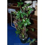 A large, thriving potted plant with Camellia type foliage.