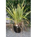 Glazed garden planter with Phormium Tenax shrub
