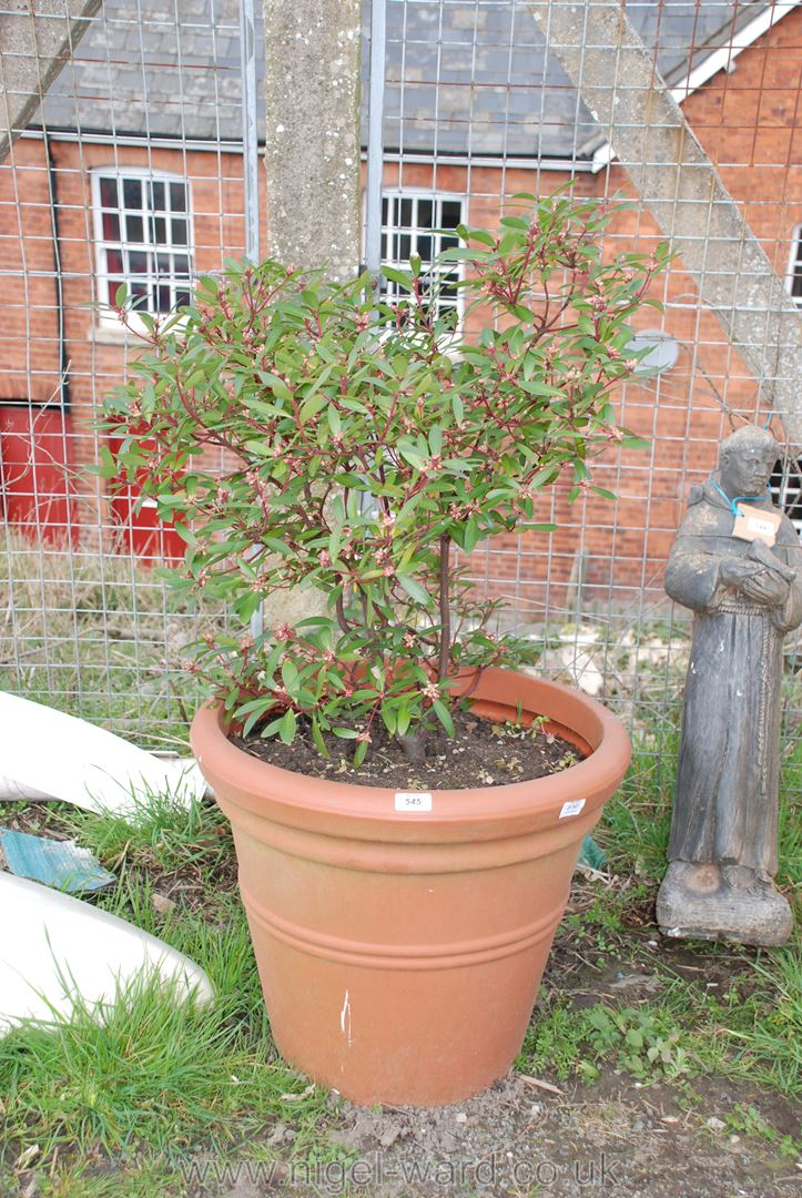 Large plastic garden planter with Daphne Odora shrub, 17'' high x 21'' diameter.